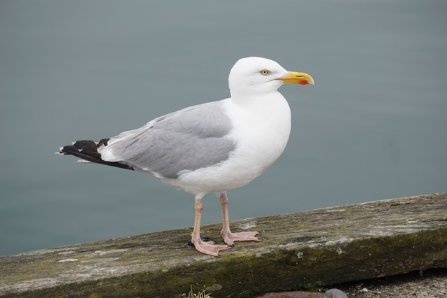 Click-a-Pest: Seagull | Bird Control Services | Pest Boss