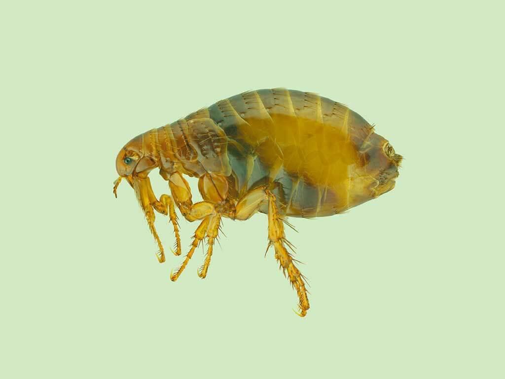 Pest-Boss---Fleas