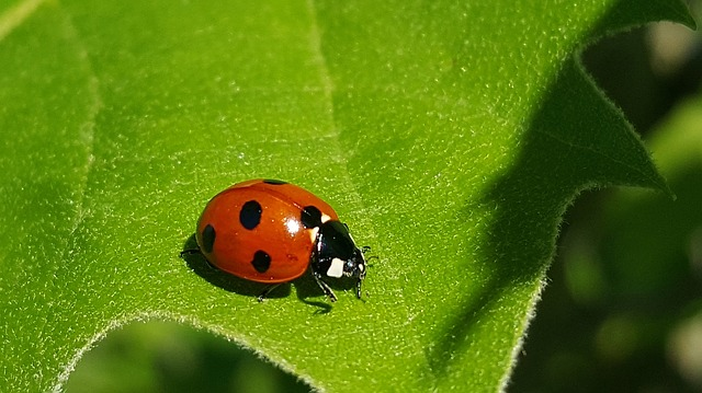 Click-a-Pest: Ladybug | Insect Control | Pest Boss