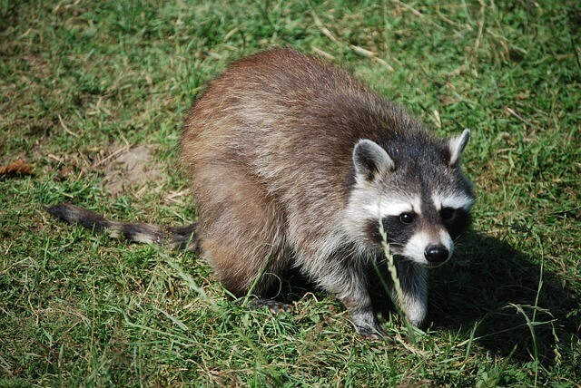 Pest Boss Wildlife Control Services - Raccoon