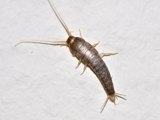 Silverfish - via Wikimedia Commons