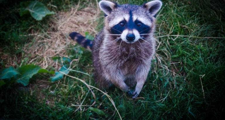 How to Keep Raccoons Less Attracted to Your Home