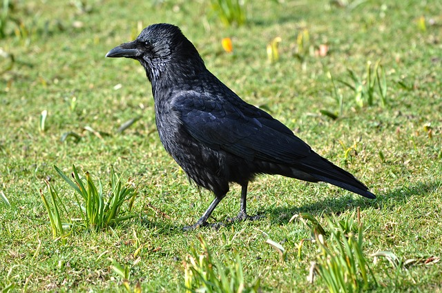 Click-a-Pest: Crow | Bird Control | Pest Boss