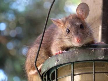 How to Mouse and Rat-proof Your Home