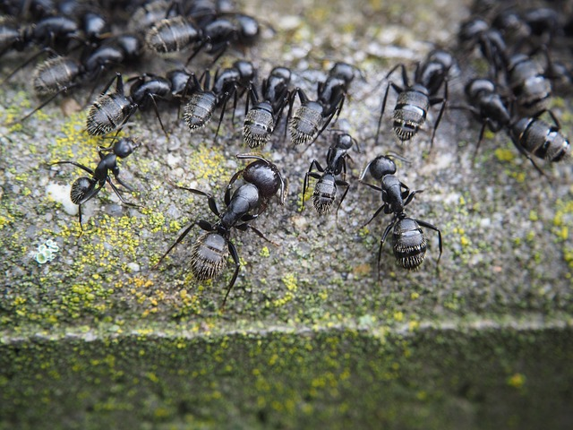 Pest Boss - ant removal service - pavement ant