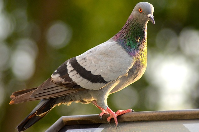 Click-a-Pest: Pigeon | Pigeon Control & Relocation Service | Pest Boss
