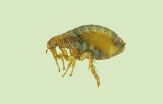 Year-round Flea Prevention Tips for Your Home