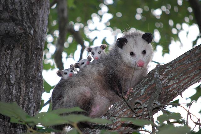Click-a-Pest: Opossum | Possum Removal Service | Pest Boss