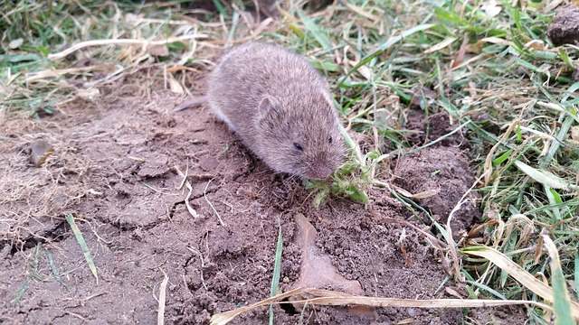 Click-a-Pest: Vole | Vole Rodent Removal Service | Pest Boss