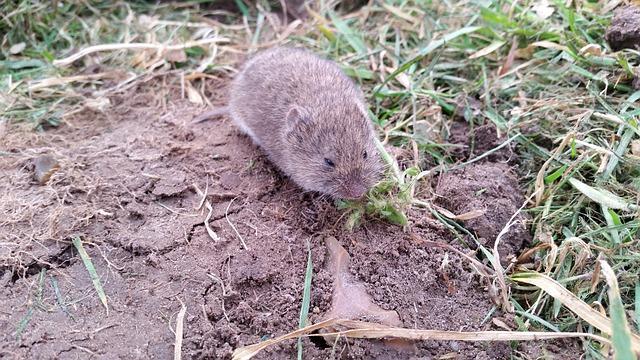 Click-a-Pest: Vole | Vole Rodent Removal Service | Pest Boss