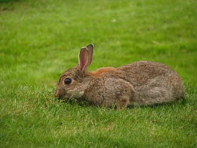 Click-a-Pest: Rabbit | Rabbit Control & Removal | Pest Boss