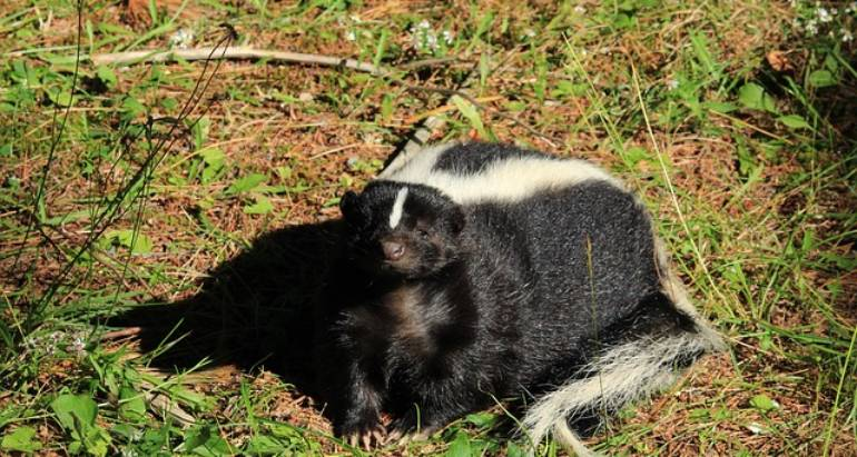 What Not to Do When There's a Skunk in the Yard