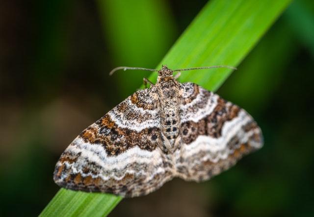 Click-a-Pest: Moth | Moth Control & Extermination | Pest Boss