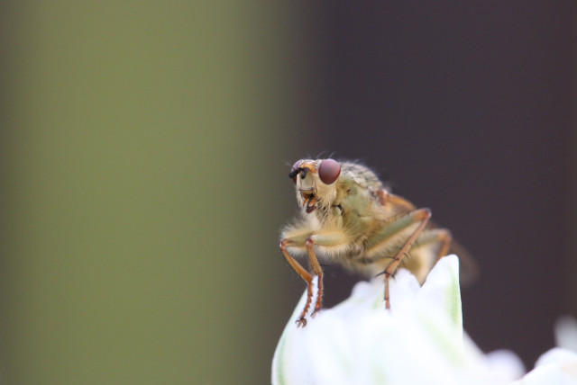 Click-a-Pest: Phorid Fly | Insect Identification & Extermination | Pest Boss